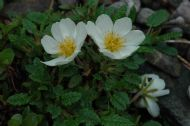 MOUNTAIN AVENS (Garden)